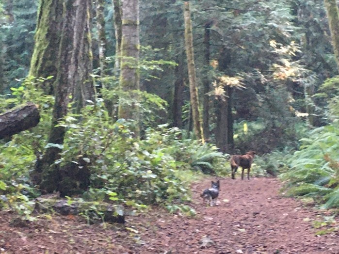walking in the forests of british columbia with the dogs